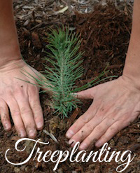 treeplanting, wild mint tea