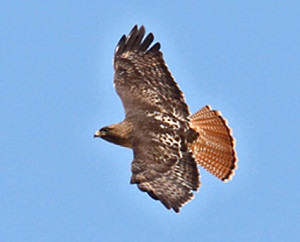 red_tailed_hawk_1