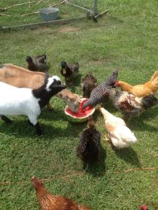 Our goats and chickens enjoy a lunchtime snack.