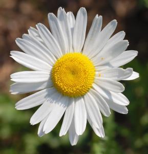 flowerdaisy