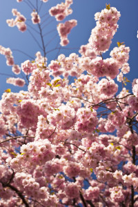 Pretty pink cherry blossoms for the new princess!