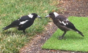 Invader (the father) is on the left and he feeds worms to Whiny by transferring them to the baby magpie's beak.