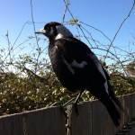 Introducing my feathered friends from Australia (plus Love Blossoms giveaway)
