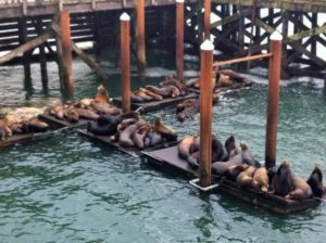 Sea lions at Newport, Oregon.