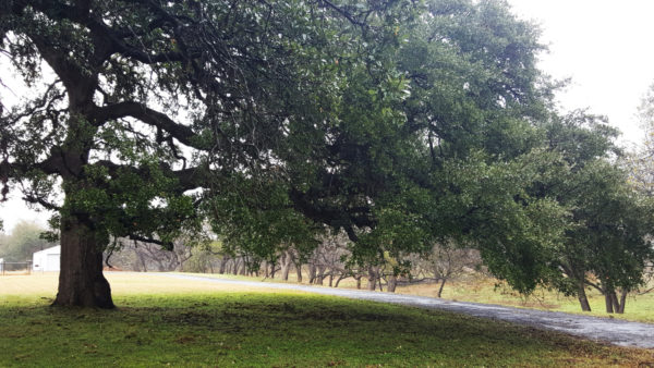 Giant Live Oak of Texas