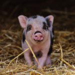 Deadlines, decisions – and piglets?