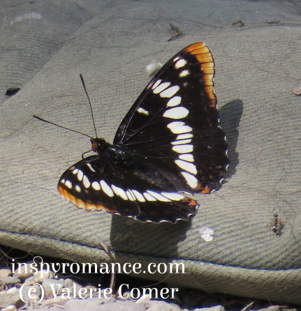 photo of Lorquin's Admiral on a dog blanket